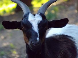 our girls the goats of stazzu la capretta