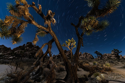 Joshua Tree and stars trails #2