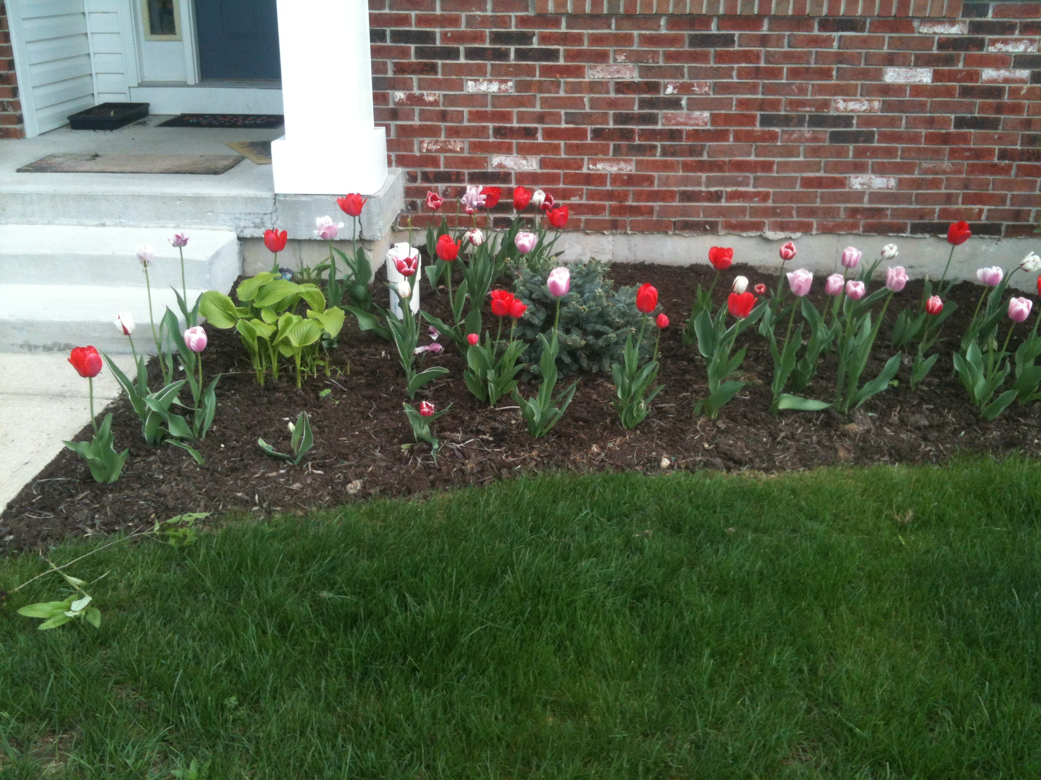 Another tulip photo