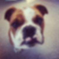 Norman the british bulldog