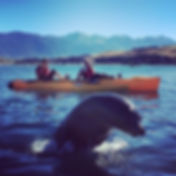 Seal Jumping in front of Kayaker in Kaikoura