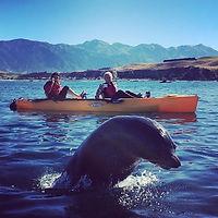 Seals swimming around kayak in kaikoura, Seal Kayak tours