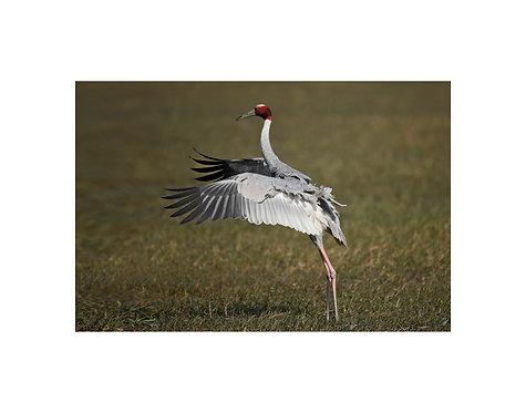 Saraus Crane