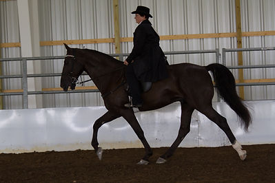 English Gaited Perf_19 & Over_Leah Terre