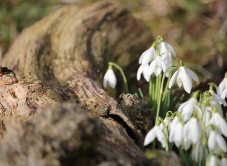 Spotting Snowdrops at Easton Walled Gardens, Lincolnshire
