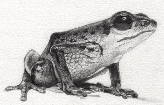 Vicente's Poison Frog