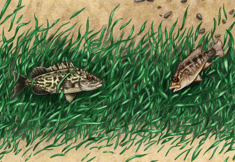 Juvenile Snapper and Grouper
