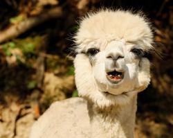 alpaca-2780500_1920.jpg