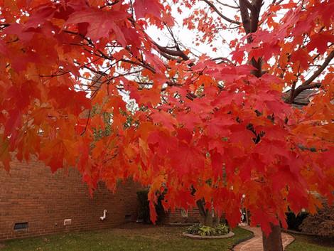 Sugar maple  (Acer saccharum)