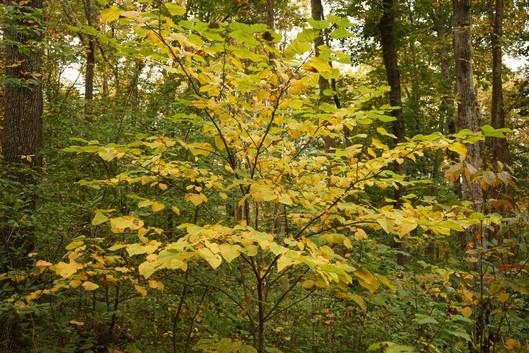 Eastern Redbud (Cercis canadensis)
