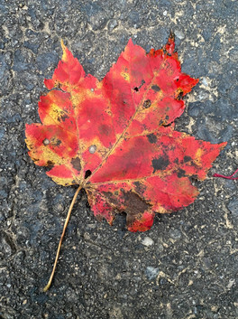 Red Maple (Acer rubrum) maple