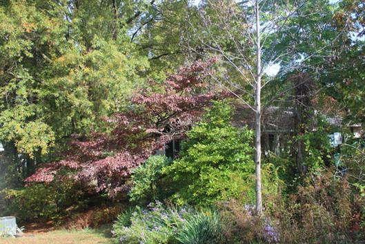 Willow oak (Quercus phellos - upper left) and Flowering Dogwood (Cornus florida)
