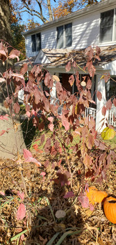 Silky Dogwood (Cornus amonum)