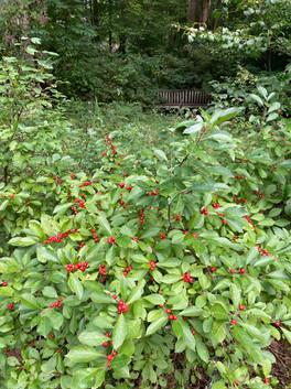 Winterberry (Ilex verticillatta)