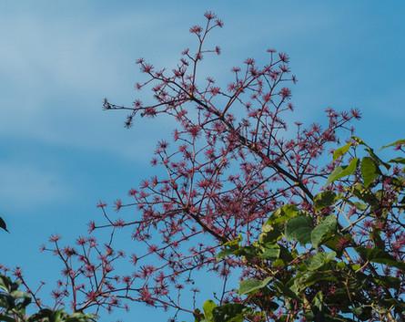 aralia spinosa.jpg