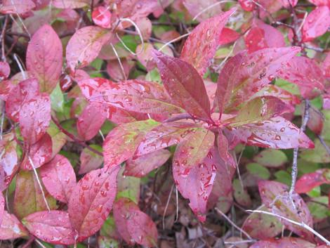 Virginia Sweetspire (Itea virginica)