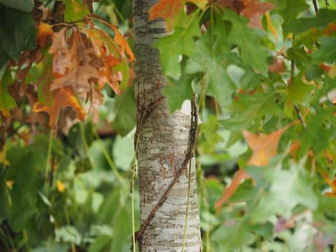 Shumard Oak (Quercus shumardii)