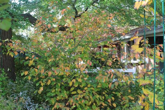 Hazelnut (Corylus americanus)