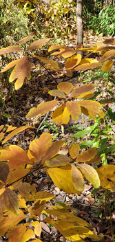 Spicebush (Lindera benzoin)(sassafras in background)