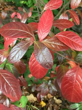 Possumhaw (Viburnum nudum)