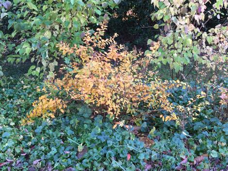 Meadowsweet (Spiraea alba)