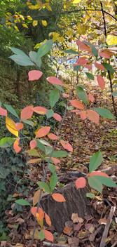 Red Chokeberry (Aronia arbutifolia)