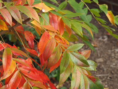 Winged Sumac (Rhus copallinum)