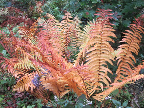 Cinnamon Fern (Osmundastrum cinnamomeum) I