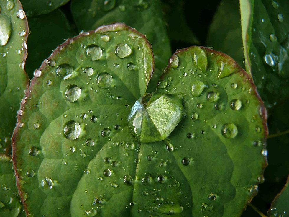 Epimedium Detailfoto