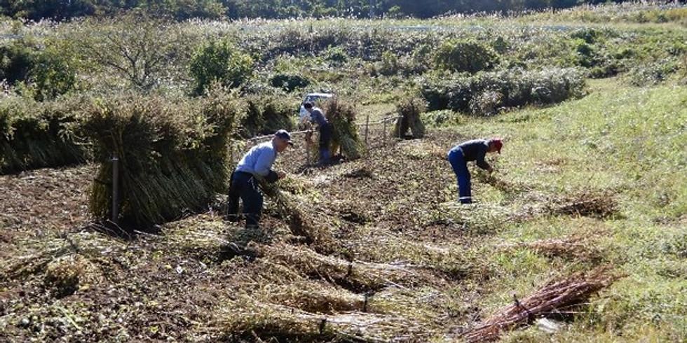 【丸森町大内青葉地区】えごま援農ボランティア Day4