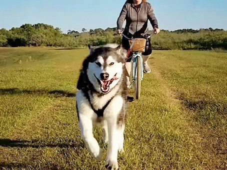 How to Exercise Your Dog [The World of Bikejoring]