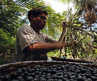 Harvesting Acai