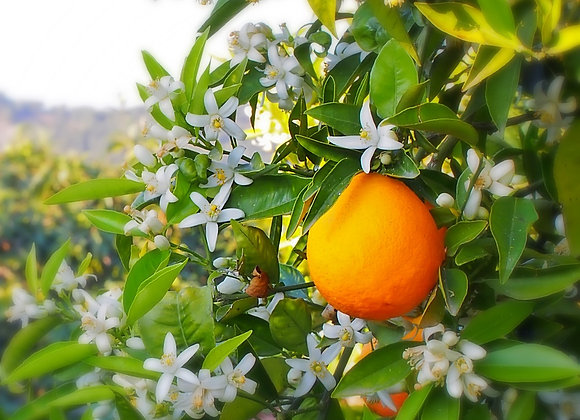 Florida Orange Grove