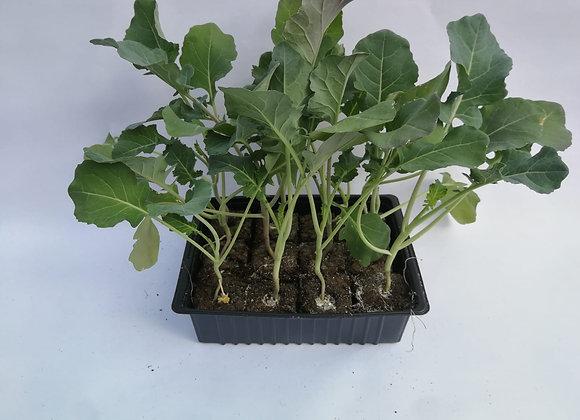 Plants de choux brocoli * 6