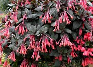 Fuchsia alumettes, pot Ø 13