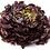 Thumbnail: Plants de feuille de chêne rouge * 6