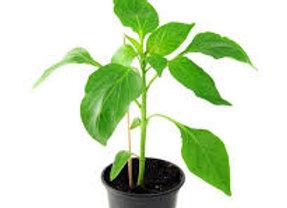 Plant de poivron, pot Ø 11