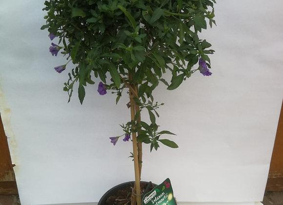 Solanum tige