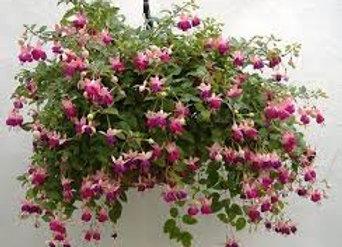 Suspension de Fuchsia retombant