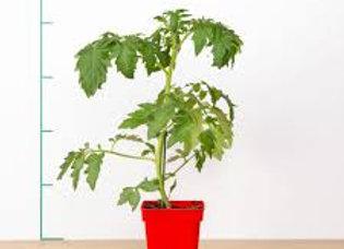 Plan de tomate maestria, pot Ø 11