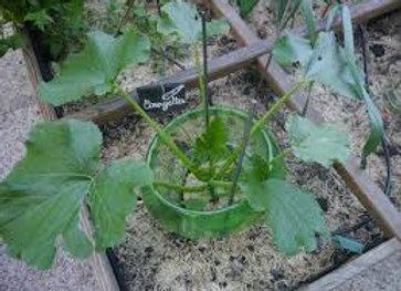 Plant de courgette jaune pot Ø 11 cm