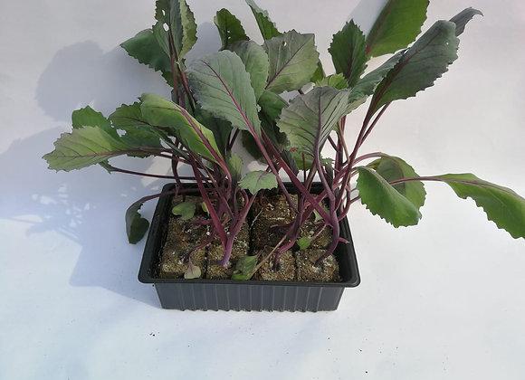 Plants de choux rouges * 6
