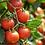 Thumbnail: Plant de tomate fantasia, pot Ø 13