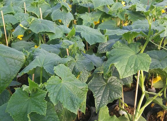 Plant de concombre, pot Ø 11