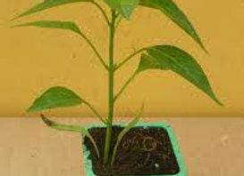 Plant de piment, pot Ø 11 cm
