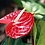 Thumbnail: Anthurium