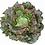 Thumbnail: Plants de batavia rouge *6