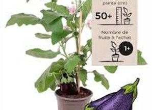 Plant d'aubergine, pot Ø 11