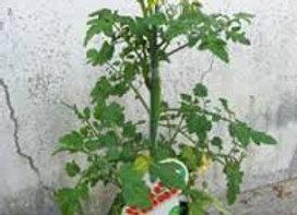 Plant de tomate fantasia, pot Ø 13