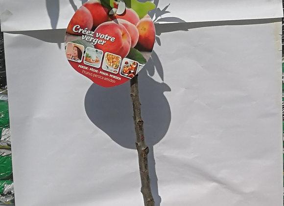 Pêcher, prunus persica amsden